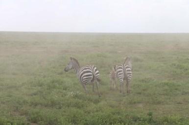 28-zebra-tanzania-serengetti-safari-animal-jungle-33