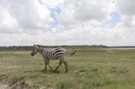 29-zebra-tanzania-serengetti-safari-animal-jungle-50
