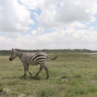 29-zebra-tanzania-serengetti-safari-animal-jungle-50