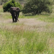 elephant, serengeti, tanzania, jungle, animal, wild