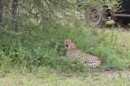 Leopard, cheetah, jungle, safari, tanzania, Serengeti