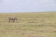 3-zebra-tanzania-serengetti-safari-animal-jungle-25