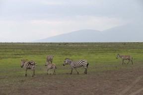 30-zebra-tanzania-serengetti-safari-animal-jungle-70