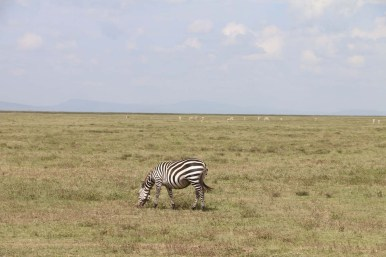 31-zebra-tanzania-serengetti-safari-animal-jungle-26