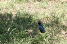 blue bird, jungle, tanzania, safari