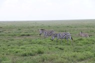 32-zebra-tanzania-serengetti-safari-animal-jungle-38