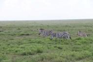 32-zebra-tanzania-serengetti-safari-animal-jungle-38
