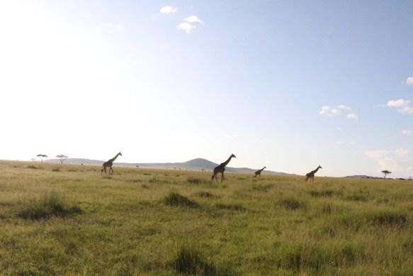 giraffe, wild, tanzania, jungle, safari,