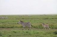 34-zebra-tanzania-serengetti-safari-animal-jungle-39
