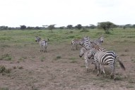 35-zebra-tanzania-serengetti-safari-animal-jungle-42