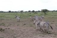 35-zebra-tanzania-serengetti-safari-animal-jungle-42