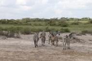 36-zebra-tanzania-serengetti-safari-animal-jungle-48
