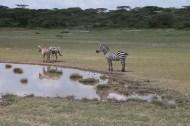 38-zebra-tanzania-serengetti-safari-animal-jungle-55
