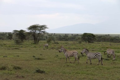 39-zebra-tanzania-serengetti-safari-animal-jungle-63