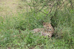 Leopard, cheetah, jungle, safari, tanzania, Serengeti