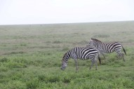 4-zebra-tanzania-serengetti-safari-animal-jungle-36