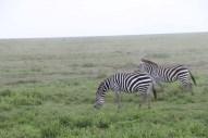 4-zebra-tanzania-serengetti-safari-animal-jungle-36
