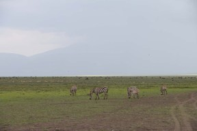 40-zebra-tanzania-serengetti-safari-animal-jungle-68