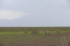 40-zebra-tanzania-serengetti-safari-animal-jungle-68