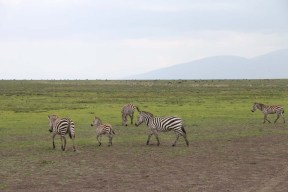 41-zebra-tanzania-serengetti-safari-animal-jungle-71