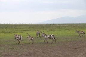 41-zebra-tanzania-serengetti-safari-animal-jungle-71