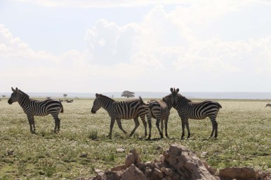 42-zebra-tanzania-serengetti-safari-animal-jungle-14