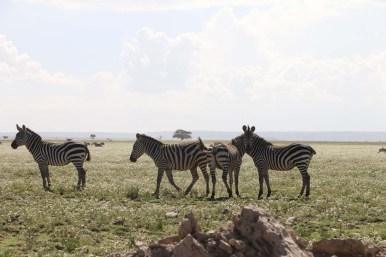 42-zebra-tanzania-serengetti-safari-animal-jungle-14
