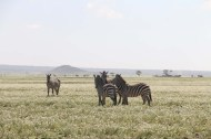 43-zebra-tanzania-serengetti-safari-animal-jungle-18