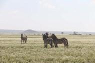 43-zebra-tanzania-serengetti-safari-animal-jungle-18