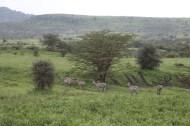 44-zebra-tanzania-serengetti-safari-animal-jungle-86