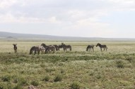 45-zebra-tanzania-serengetti-safari-animal-jungle-22
