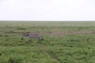 46-zebra-tanzania-serengetti-safari-animal-jungle-37
