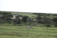 48.5-zebra-tanzania-serengetti-safari-animal-jungle-75