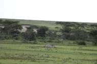48.5-zebra-tanzania-serengetti-safari-animal-jungle-75