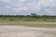 48-zebra-tanzania-serengetti-safari-animal-jungle-52