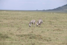 49-zebra-tanzania-serengetti-safari-animal-jungle-27