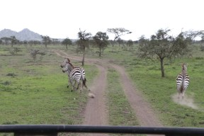 50-zebra-tanzania-serengetti-safari-animal-jungle-60