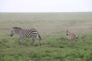 6-zebra-tanzania-serengetti-safari-animal-jungle-35