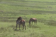 7.5-zebra-tanzania-serengetti-safari-animal-jungle-3