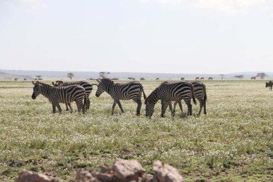 7.6-zebra-tanzania-serengetti-safari-animal-jungle-17