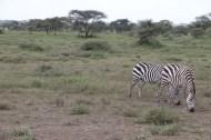 7-zebra-tanzania-serengetti-safari-animal-jungle-44
