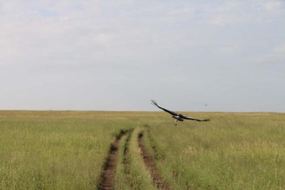 8-bird-tanzania-serengetti-safari-animal-jungle-36