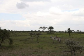 8-zebra-tanzania-serengetti-safari-animal-jungle-61