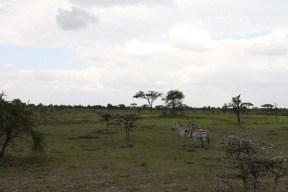 8-zebra-tanzania-serengetti-safari-animal-jungle-61