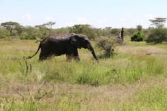 elephant, serengeti, tanzania, jungle, animal, wild