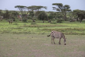 9-zebra-tanzania-serengetti-safari-animal-jungle-73