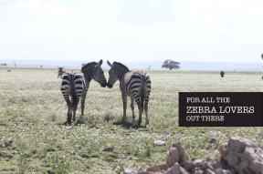 zebra, animal, jungle, tanzania, safari