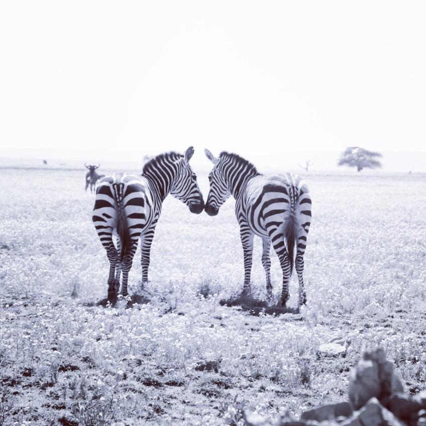 zebra-tanzania-serengetti-safari-animal-jungle-75