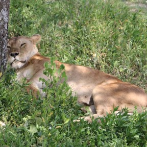 Lioness, Lion, safari, tanzania, jungle, wild life, serengeti, ngorongoro