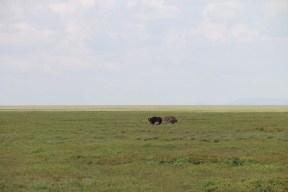 3-ostrich-tanzania-serengetti-safari-animal-jungle-4